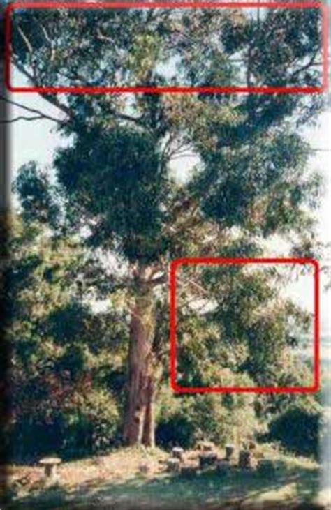 Comment Tailler Un Eucalyptus by Comment Tailler Les Arbres Quand Utiliser La Taille