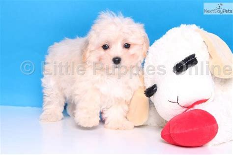 puppies for sale in columbus ohio the 25 best maltipoo puppies for sale ideas on