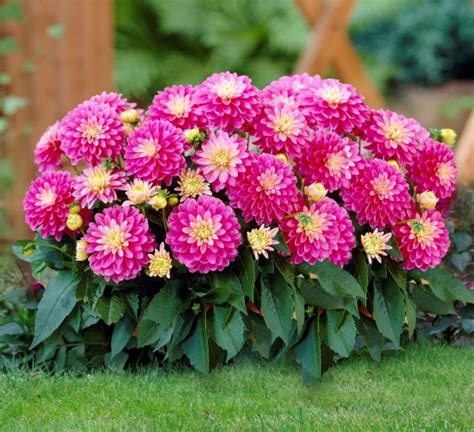 all about growing and caring for dahlias gardening tips