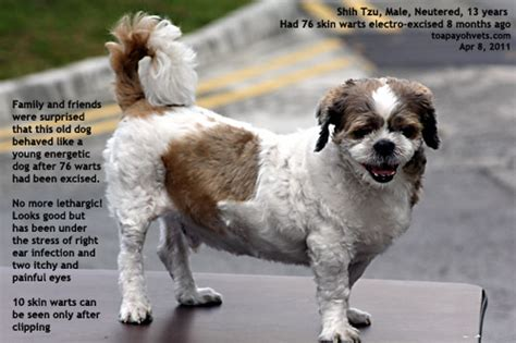 oldest shih tzu 0829asingapore veterinary hyperoestrogenism