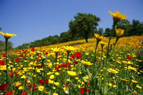 prato fiorito prato fiorito la primavera attorno al lago di bolsena