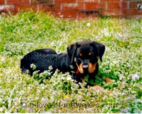 parvo in rottweilers parvo in puppies what you need to a of rottweilers