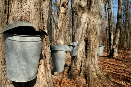 backyard maple syrup backyard maple sugaring farmers almanac