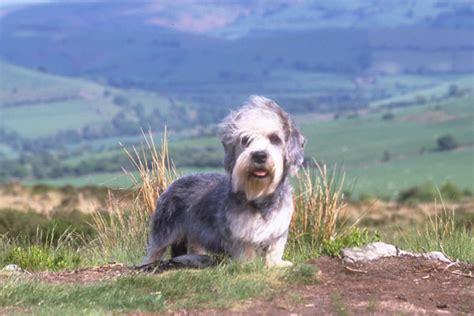 dandie dinmont terrier puppies for sale dandie dinmont terrier puppies for sale from reputable breeders