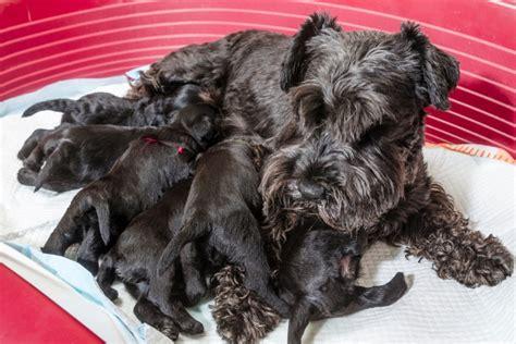 pseudopregnancy in dogs false pregnancy in dogs canine pseudopregnancy