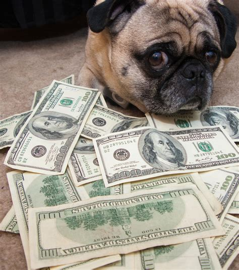 how much money are pugs mo money mo problems pugs