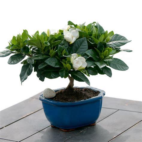 gardenia bonsai bonsai house plants emilysplantscom
