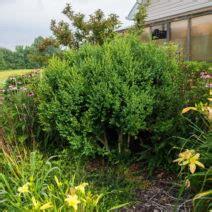 wann kann buchsbaum schneiden buchsbaum schneiden zeitpunkt hilfsmittel formen