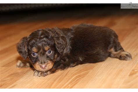 aussiedoodle puppies for sale near me aussiedoodle puppy for sale near richmond virginia 07e09360 6fb1