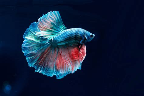 betta fish  beautiful   popular siamese