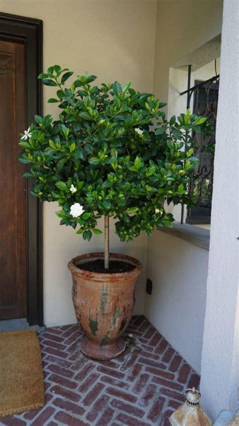 potted gardenia tree   lanai potted trees patio
