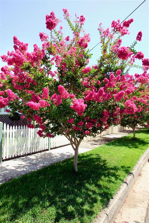 popular flowering shrubs crepe myrtle burke s backyard