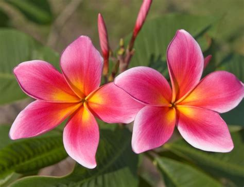 plumeria colors 17 best images about plumeria wish list on