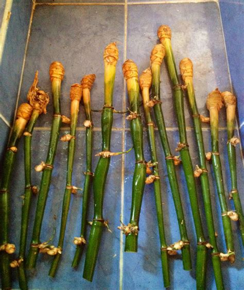 how to grow bamboo cuttings guadua bamboo