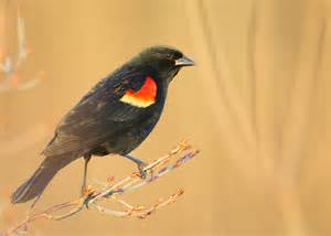 falmouth birds cape cod red winged blackbird