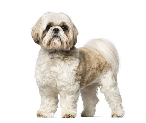 shih tzu big shih tzu dogs breed information omlet