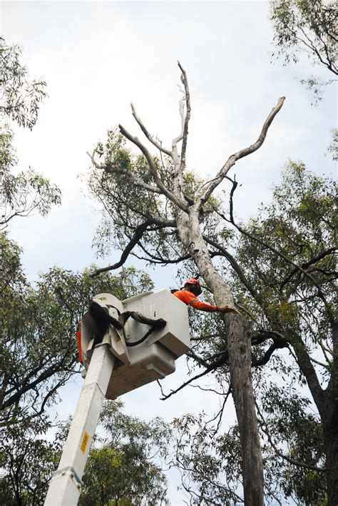 cutting a tree down in sections beulah access road works sydney living museums