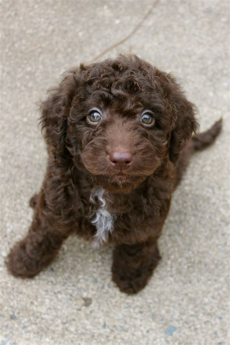 Mini Chocolate Labradoodle Cures For A Bad Day