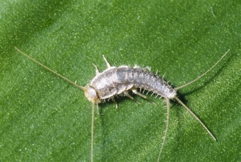 flat silver bugs in bathroom silverfish pest control for residential and commercial