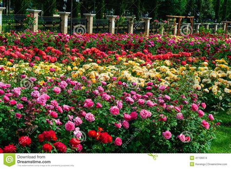 How To Plant Climbing Roses - garden of roses stock photo image 41106674