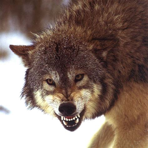 el lobo de los y por qu 233 no un blog acoso y exterminio del lobo en