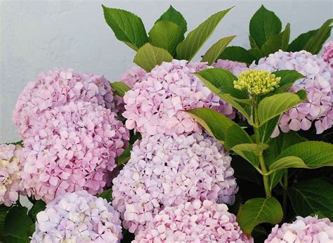 ornamental plants hydrangea popular ornamental plants kinds of