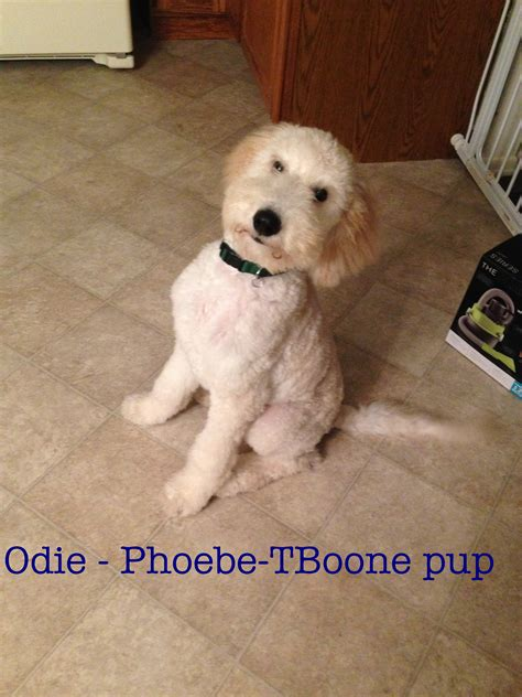 poodle doodle puppies for sale goldendoodle puppies standard poodles for sale in pa