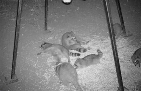 hidden cam video 13 times animals were caught by hidden cameras doing the