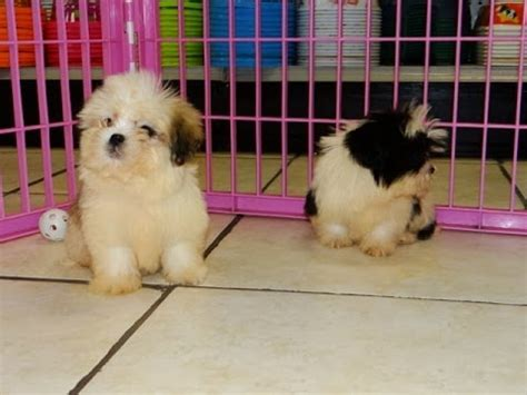 puppies for sale san antonio tx maltitzu puppies for sale in san antonio tx pasadena brownsville grand