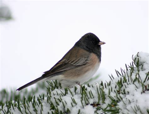 most common backyard birds dark eyed junco