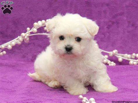 puppies for sale in erie pa 1000 ideas about maltese puppies for sale on maltese maltese puppies and
