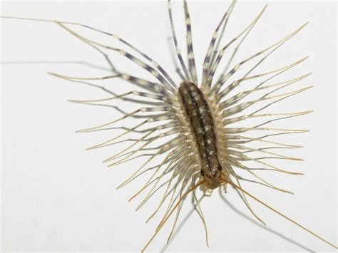 the science s the house centipede