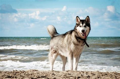 puppy on siberian husky temperament pictures and inspirationseek