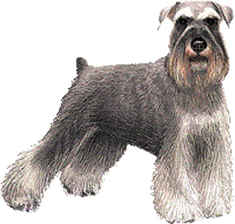 puppies for sale in lubbock tx miniature schnauzer puppies for sale in lubbock tx chocolate breeds picture