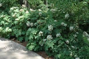 Best Backyard Dogs Wee Hydrangea Hydrangea Quercifolia Wee In