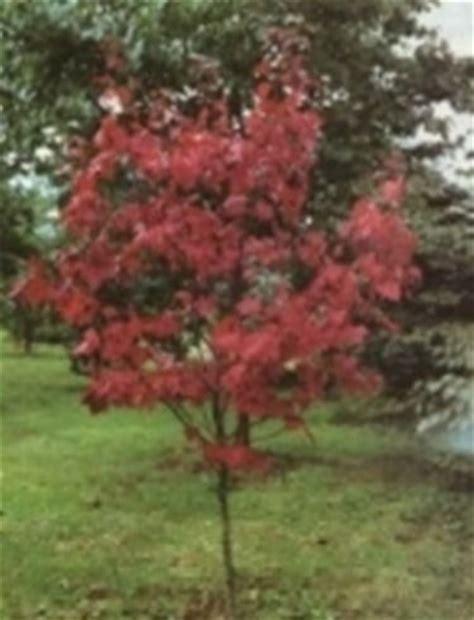 acero giapponese in vaso acero rosso con foglie verdi domande e risposte giardino