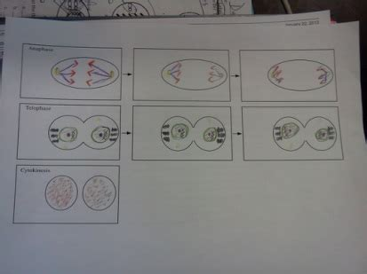 mitosis flip book template class mr witsil s 6th grade science at techboston
