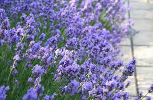 Foodista lovely lavender 5 great recipes