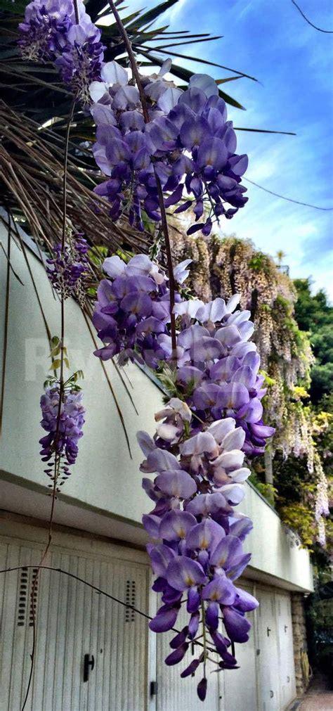 fiore glicine glicine fiore 28 images fiori glicine fiori di piante