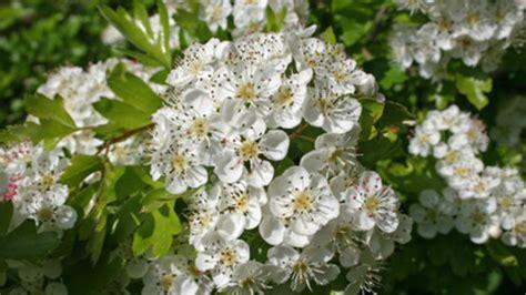 biancospino fiori biancospino flora service