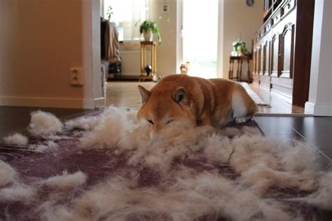 Shiba Inu Do They Shed by 17 Best Images About Shiba Inu On Show