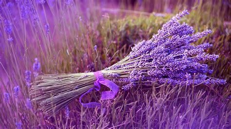 wallpaper flower lavender lavender flowers wallpaper high definition high