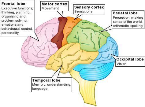 What Are The Four Sections Of The Brain by Floridabicyclelaw Just Another Site