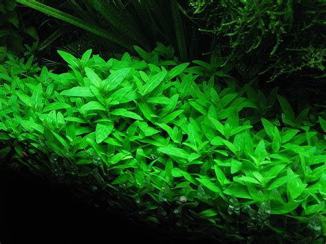 aquascape plants list staurogyne repens aquarium aquascaping pinterest