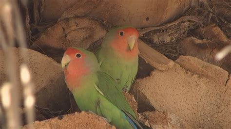 have you seen the lovebird 3tv cbs 5