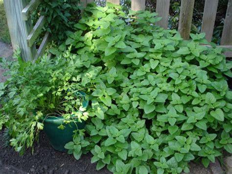 growing mint bonnie plants