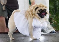 marilyn pug 1000 images about pugs in silly costumes on pugs in costume pug and pugs