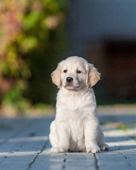 puppy names for golden retrievers what do you think would be some great puppy names for this golden retriever golden
