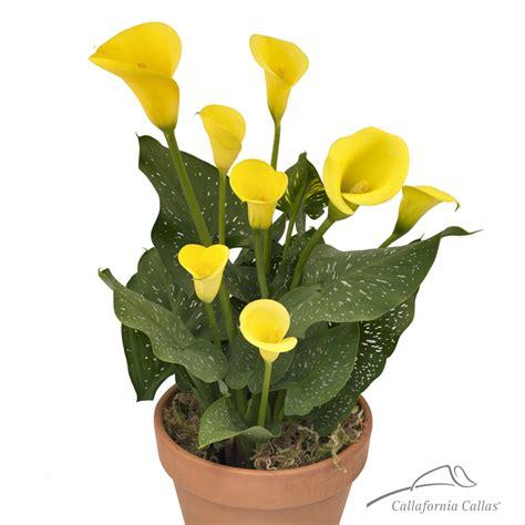 sunshine calla lily bulbs for sale yellow calla lily plant callafornia callas sunshine calla