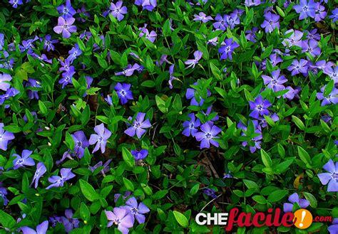 piante tappezzanti fiorite le piante tappezzanti alternative al prato verde